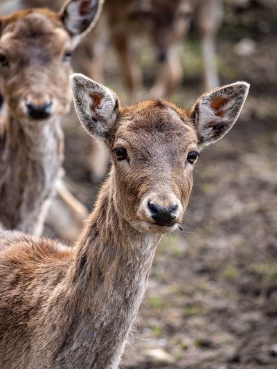 Close-up portrait of deer