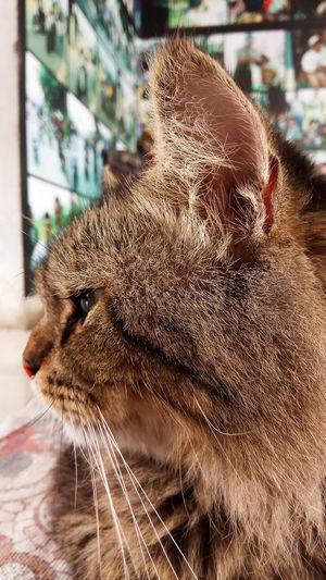 Pets Portrait Domestic Cat Close-up