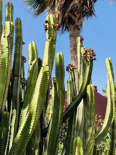 Cactus Cactus