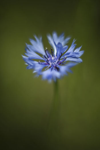 Cornflower / Centaurea cyanus [Cosinon 55mm f/1.2 MC] Bachelor's Button Beauty In Nature Blooming Blue Flower Close-up Cornflower Flower Flower Head Fragility Freshness Growth Nature Outdoors Petal Plant