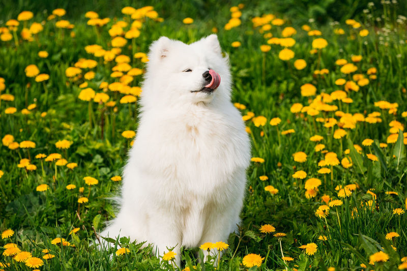 Funny Young Happy Smiling White Samoyed Dog Or Bjelkier, Smiley, Sammy Playing Outdoor In Green Spring Meadow With Yellow Flowers. Playful Pet Outdoors. Animal Beutiful  Color Cute Domestic Green Mammal Nature Pet Playful White Dog Yellow Grass Flower Summer Puppy Samoyed