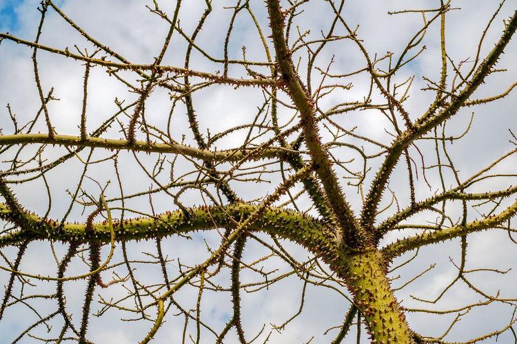 The silk floss tree CeibaTree Exotic Mediterranean  Silk Floss Silk Floss Tree Ceiba Chorisia Speciosa Exotic Tree Floss Tree Sharp Spines