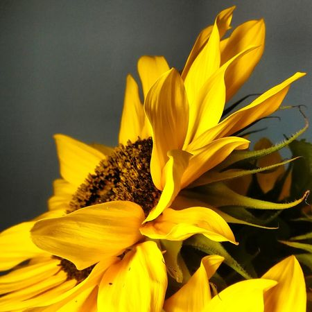 Flower Head Flower Herbal Medicine Yellow Sunflower Petal Black-eyed Susan Botany Close-up Plant In Bloom Blossom