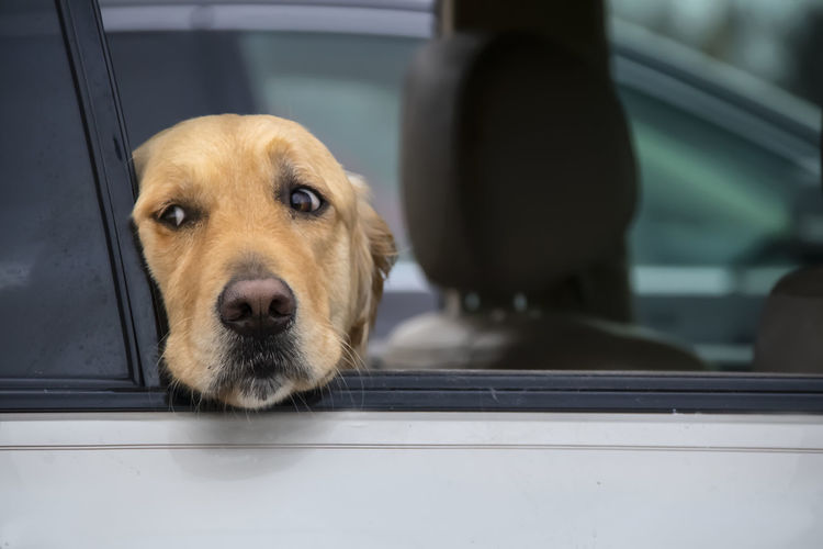 Close-up of dog looking through window in car