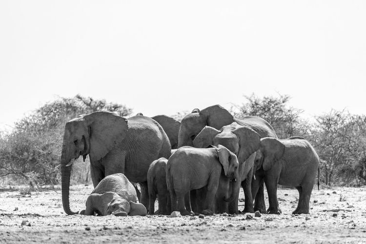 The elephant in namibia