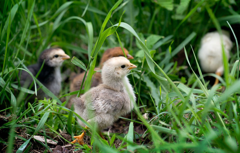 Chicks Amidst Grass