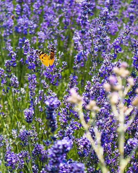 Close-up of butterfly on purple flowering plants
