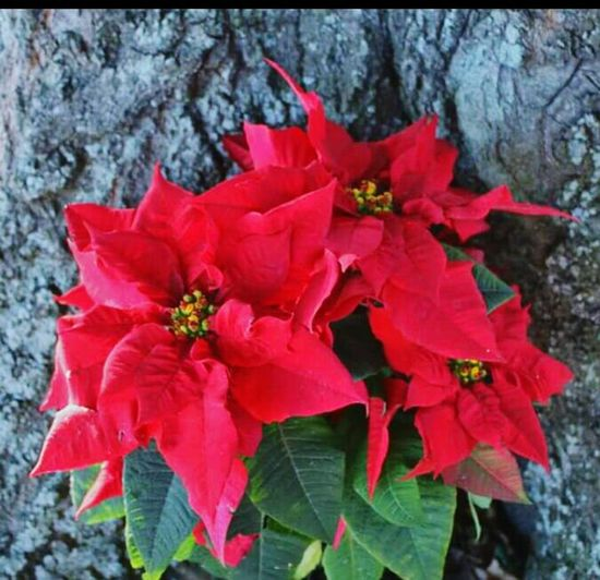 Poinsetta trio Poinsettias Trio Red Flowers Christmas Time Christmas Flower By The Old Oak Tree Its The Most Wonderful Time Of The Year  Flower Porn