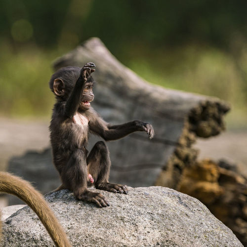 Close-Up Of Young Monkey Sitting On Rock In Zoo