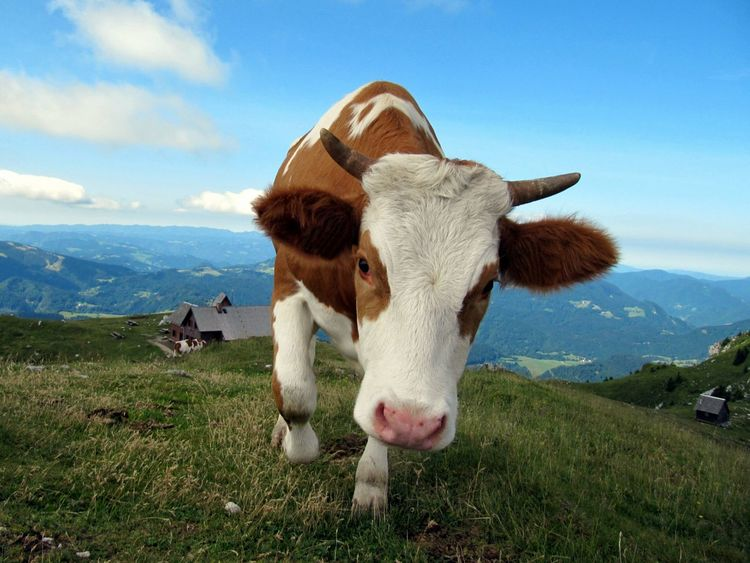 Eye4photography  Cows EyeEm Animal Lover EyeEm Nature Lover Slovenia Funny Today's Hot Look