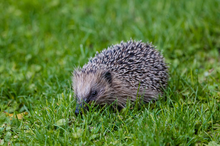 A hedgehog is any of the spiny mammals of the subfamily Erinaceinae, in the eulipotyphlan family Erinaceidae. There are seventeen species of hedgehog in five genera found through parts of Europe, Asia, and Africa, and in New Zealand by introduction. There are no hedgehogs native to Australia and no living species native to the Americas (the extinct genus Amphechinus was once present in North America). https://en.wikipedia.org/wiki/Hedgehog Hedgehog One Animal Animal Themes Animal Wildlife Green Color Nature Close-up Woodhaugh Garden EyeEm Nature Lover