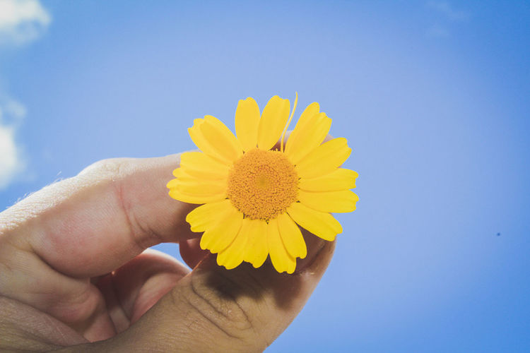 Human Hand Yellow Human Body Part Flower Fragility Close-up Nature Outdoors Sky Flower Head People Adult One Person Day Freshness Gerbera Daisy Adults Only Flores Brazil Sunset Sun Orange Color Dramatic Sky Beauty In Nature First Eyeem Photo Landscape