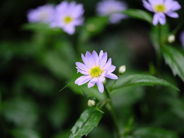都忘れ Gymnaster Flower Flowering Plant Freshness Plant Fragility Vulnerability  Beauty In Nature Petal Flower Head Purple No People Botany Outdoors Pink Color