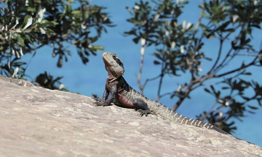 Australian lizard Animal Animal Wildlife Animal Themes Animals In The Wild Vertebrate Nature One Animal Low Angle View Rock - Object Sky Solid Rock Reptile Lizard Nature Animals In The Wild