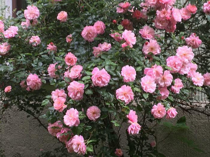 Rosen strauch