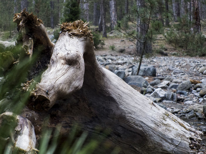 pig or wood ? Billet Log Animal Like Animal Same  Wood Forest EyeEm Selects Animal Or Wood Pig Tree Close-up Woods WoodLand Tree Trunk