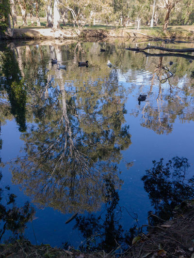 Near perfect reflection Reflection Water Nature Day Outdoors No People Tree Growth Lake Blue Beauty In Nature Close-up Sky Birds Ducks Australia Colourful Scenics Backgrounds The Week On EyeEm EyeEmNewHere Perspectives On Nature