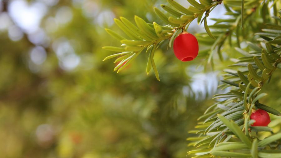 Close-up Leaf Red Fruit Growth Tree Selective Focus Nature Green Color Freshness Day Plant Beauty In Nature Pine Tree Green