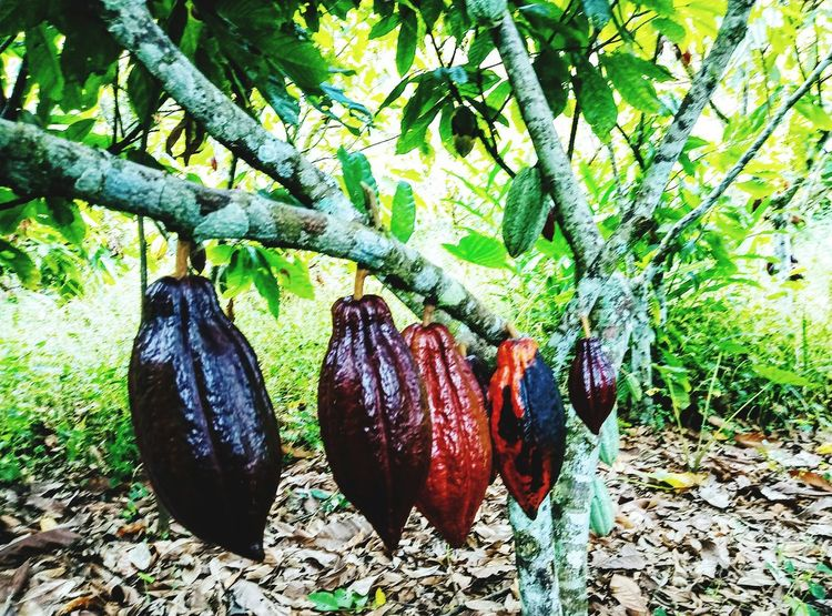 Cocoa tree Fruit Food Tree No People Healthy Eating Outdoors Green Color Day Growth Nature Hanging Freshness Branch Cocoa Fruits Cocoa Plant Cocoa Jungle