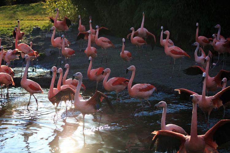 Flamingo Flamingos Flamingos In Water Flamingos Up Close Flamingo At The Zoo Flamingoes Flamingo Beauty Flamingo Gardens Flamingobeach Large Group Of Animals Animals In The Wild Animal Themes Water Bird Lake Flamingo Flock Of Birds Nature Outdoors Swimming Zoo Zurich, Switzerland Sun Summer Exploratorium Love Is Love