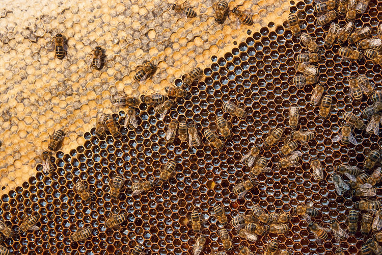Animal Animal Themes Animal Wildlife Animals In The Wild APIculture Backgrounds Beauty In Nature Bee Beehive Close-up Colony Full Frame Group Of Animals Honey Bee Honeycomb Insect Invertebrate Large Group Of Animals No People Pattern