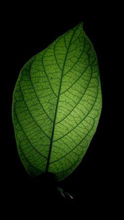 Back Lit Fresh Leaf Veins Dark On A Whim