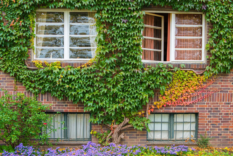 Orange ivy on house with white window Architecture Window Building Exterior Plant Built Structure Building House Residential District Brick Nature Growth Ivy No People Brick Wall Leaf Day Plant Part Wall Green Color Creeper Plant Outdoors Cottage
