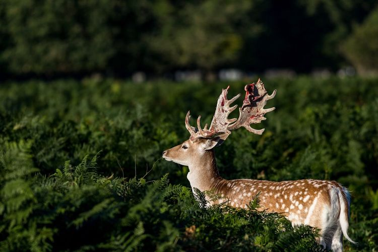 Animal Wildlife Deer Animals In The Wild Stag Mammal Antler Animal Themes Arts Culture And Entertainment Beauty In Nature Nature Alertness Grass Wind Instrument Outdoors Eating No People Day Camouflage Clothing