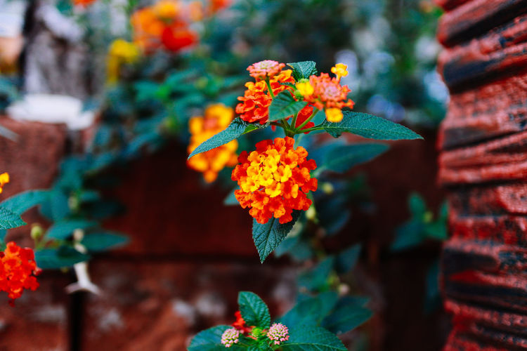Plant Flowering Plant Flower Growth Freshness Focus On Foreground Vulnerability  Fragility Close-up No People Plant Part Nature Beauty In Nature Leaf Day Orange Color Flower Head Petal Green Color Inflorescence Lantana Plant Growth Tree Nature Beauty In Nature Nature Photography
