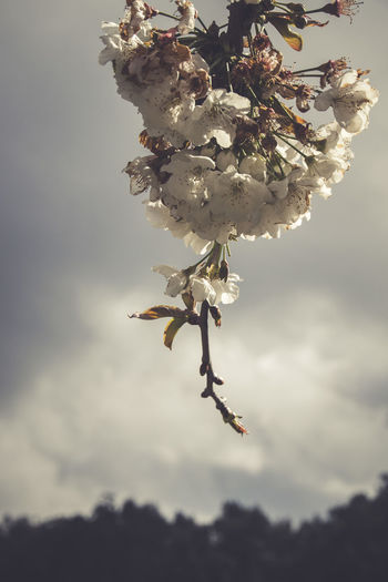 Close-up of cherry blossom on twig against sky