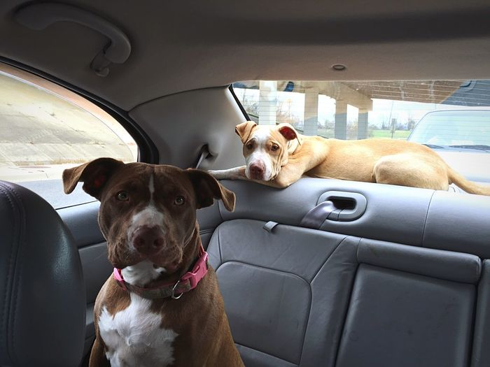 Close-Up Of Portrait Of Pit Bull Terrier In Car