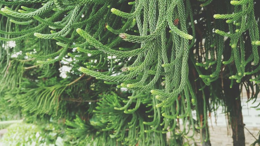 Close-Up Of Pine Trees
