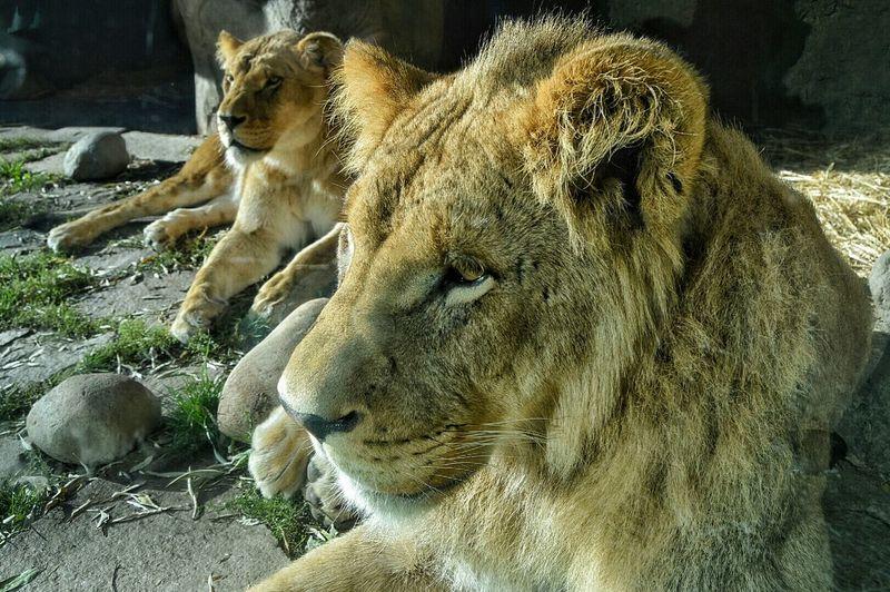Zoo Safari Animals Lionsinthezoo Up Close And Personal