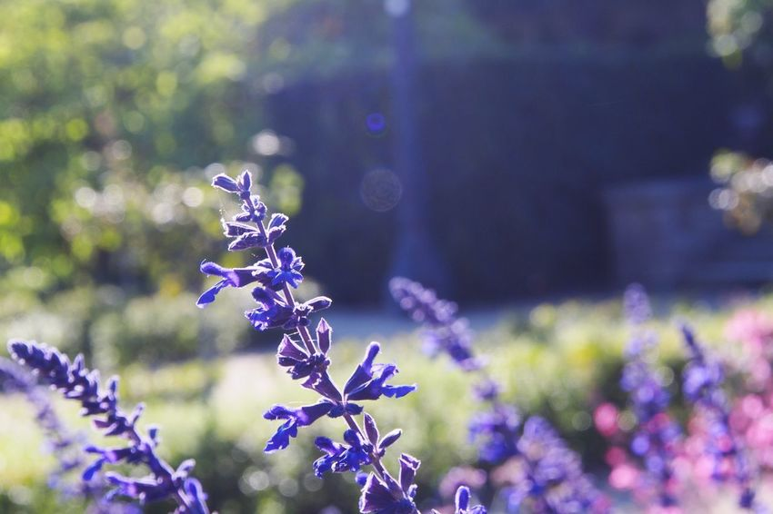 Flowers drenched in sunlight Flower Purple Nature Fragility Beauty In Nature Freshness Growth Plant Close-up Lavender Day No People Outdoors Flower Head Barcelona Sunbeam Bokeh Lens Flare