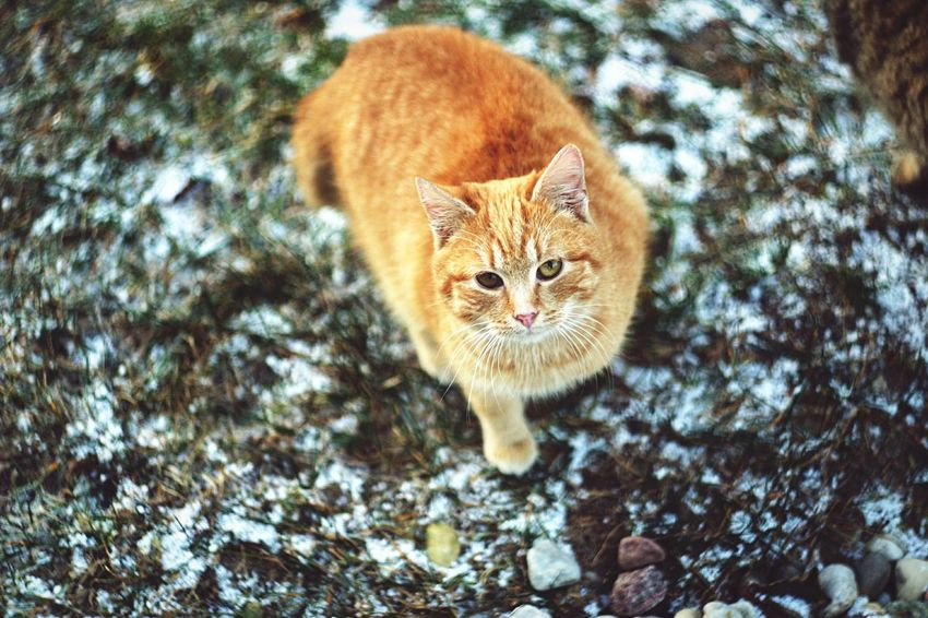 Animal Animal Photography Animal Portrait Animal_collection Animal Lover Cat Cat♡ Catoftheday Cats Of EyeEm Cats 🐱 Cat Lovers Felix The Cat Ginger Cat Cold Winter ❄⛄ Winter Winter Cat No People My Cat Pet Pets Miau Miau *-*