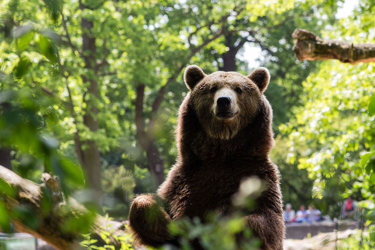 Portrait of brown bear at zoo