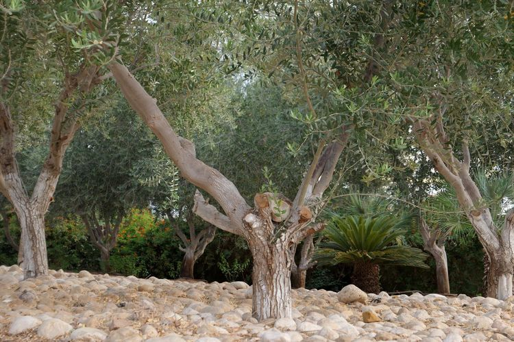 Israel Eilat Tropical Climate Olive Tree Plant Tree Growth Nature Day Tree Trunk No People Trunk Beauty In Nature Outdoors Tranquility Branch Green Color Sunlight Scenics - Nature Tranquil Scene Environment