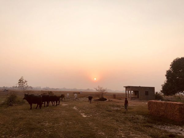Shot on iPhone Domestic Animals Animal Themes Livestock Sunset Mammal Nature Field Sun Beauty In Nature Landscape Sky Rural Scene Grazing Agriculture Outdoors No People Scenics Tree Grass Day Stack Field Desert Tree Randomshot