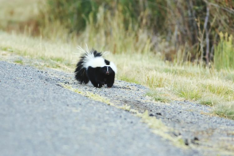 Watch out for the skunk Skunked  Skunks Are Cute Wildlife Photography Animals Animals In The Wild Canonphotography Canon 5d Mark Lll Smelly Skunks Utah Roadside Shots Watch Out! Nature Stinky