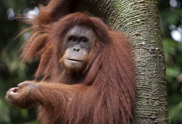 Close up of Orang Utan Animal Themes Animal Wildlife Animals In The Wild Brown Close Up Close-up Color Image Day Focus On Foreground Kalimantan Mammal Monkey Nature No People One Animal Orangutan Outdoors Portrait Primate Sumatera Tree