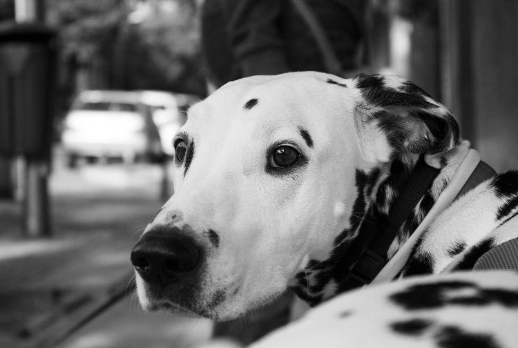 Pongo Dalmatian Animal Themes Close-up Dalmata Dalmatas Day Dog Dog Love Dogs Dogslife Domestic Animals Focus On Foreground One Animal Perro Perros  Perros Por El Mundo Perros❤ Pets Photo Photographer Photography Photooftheday Photoshoot Pongo Pongo The Pretty Puppy Dog. Pongo❤