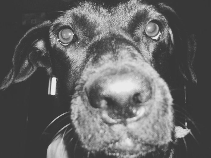Black & White Dog❤ Doglover Dogslife Dog Days Upclose And Personal The Moment - 2015 EyeEm Awards Up Close Check This Out Monochrome