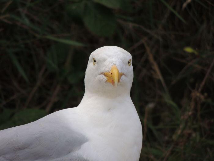 Seagull Animal