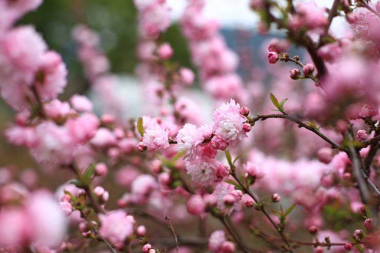 Plant Nature Flower Beauty In Nature Flowering Plant Growth Day Tree Outdoors Close-up Vulnerability  No People Freshness Pink Color Pink Flower EyeEm Nature Lover Spring Fragility Blossom Selective Focus Springtime Branch Petal Botany Flower Head Cherry Blossom Cherry Tree Macro