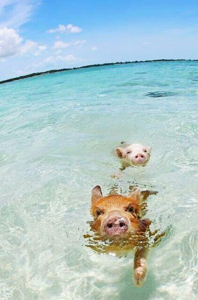 Beach Piglet Pig Swimming Summer ☀ Summertime