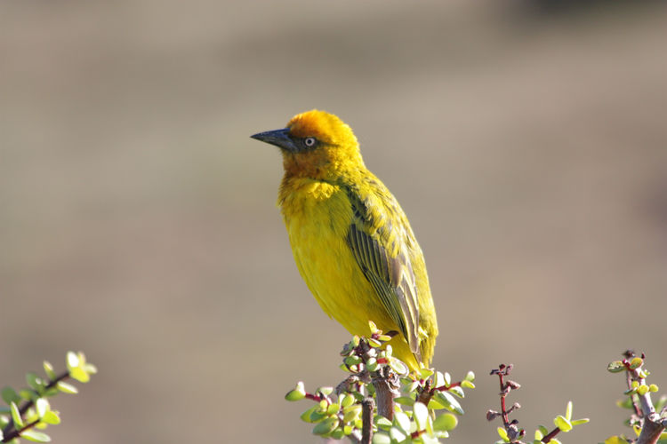 Addo Elephant National Park Animal Wildlife Animals In The Wild Bird Bird On A Branch Cape Weaver No People One Animal Weaverbird Yellow