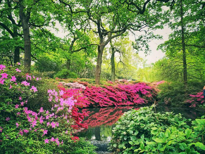 Pink flowering trees in park