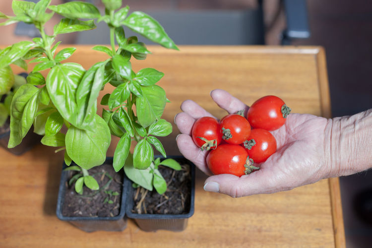 Cropped hand of person holding fresh tomatoes by potted plant