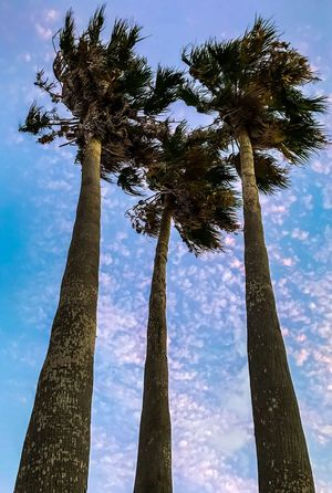 Low Angle View Nature Growth Tree Sky Day Beauty In Nature Palm Tree No People Outdoors Enjoying Life Outdoor Photography Rgv Canonphotography Canonrebelt5 Photographylovers Photojournalism EyeEmNewHere Photographyislifee Enjoying The Moment Inthemoment (null)Beautiful Cloud - Sky Palm Trees