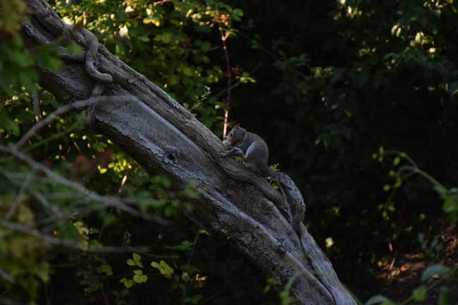Grey Squirrel scratching Nature Outdoors Tree Day Branch South Downs National Park Lancing  Wildlife Photography South Downs Beauty In Nature Evening Tree Nature Reserve Rodent Grey Squirrel Squirrel Itching Scratching Nature Reserve.